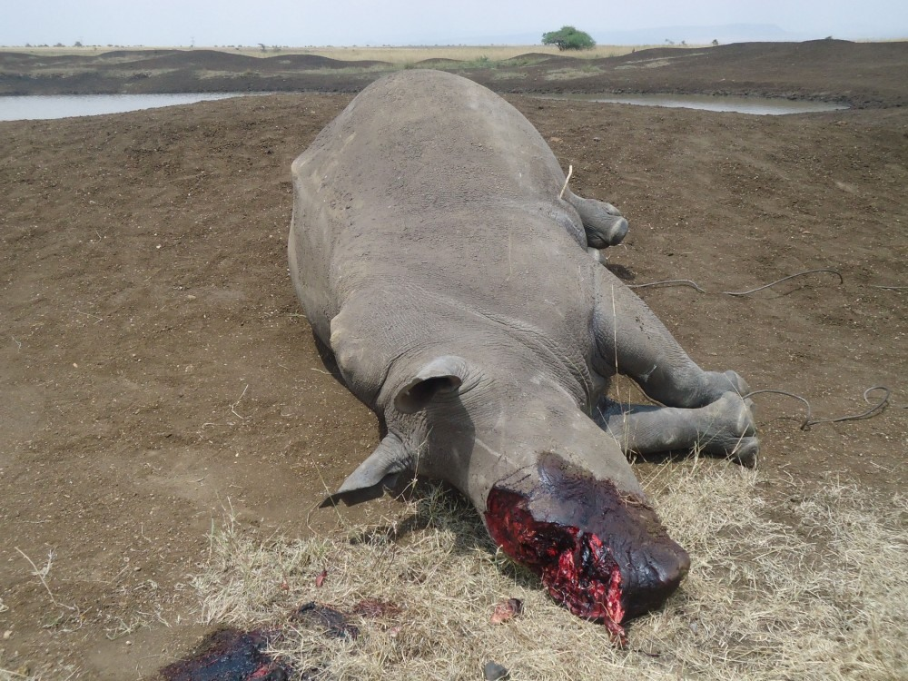 rino corno tagliato